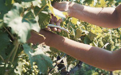 Schneidearbeit in einem Weingarten im Weinviertel