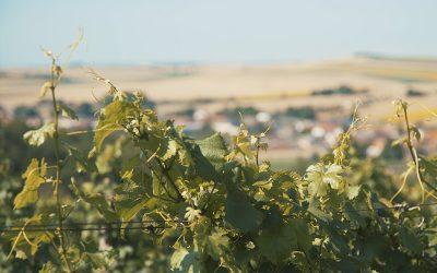 Ausblick auf Eibesthal von einem Weingarten aus