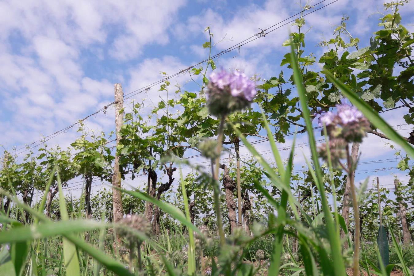 Ein Weingarten des Weingut Faber-Köchls