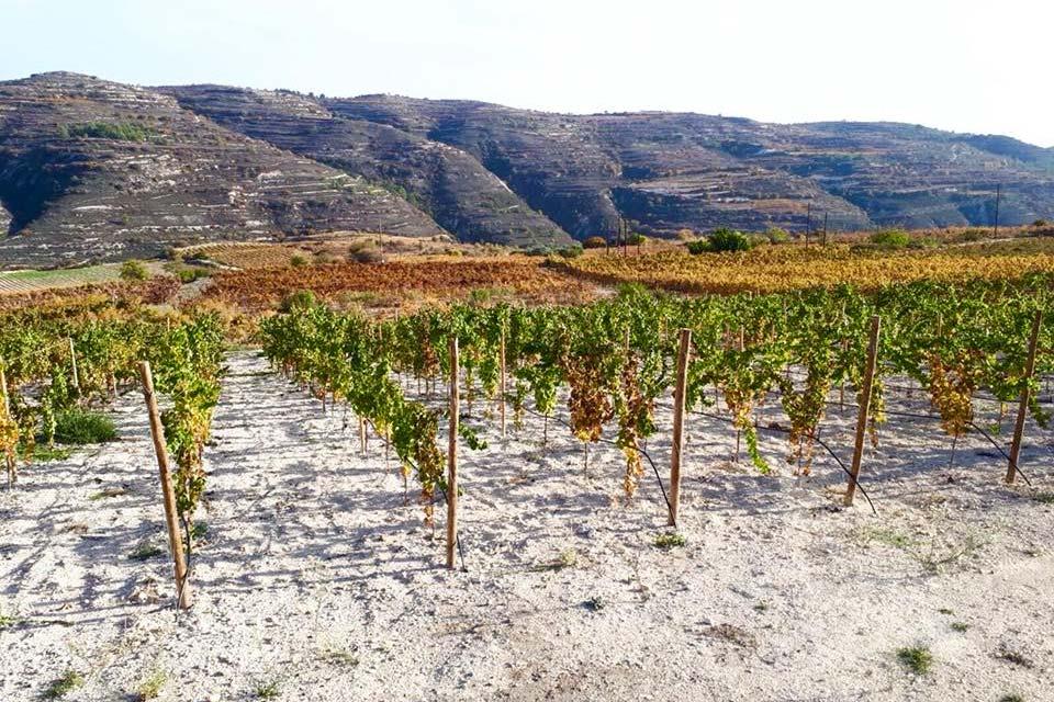 Ein vom Weingut Faber-Köchl besuchter Weingarten auf Zypern