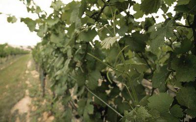Blick auf die Laubwand eines Weingartens